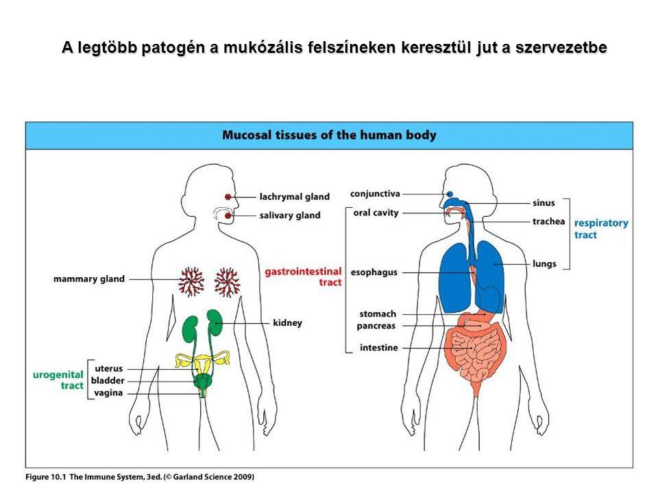 """GYULLADÁS baktérium LPS citokinek neutrofil NK-sejt makrofág TNF IL-12 IFN  A TERMÉSZETES ÉS SZERZETT IMMUNITÁS EGYÜTTMŰKÖDÉSE A makrofágok által termelt IL-12 hozzájárul az effektor T sejtek aktiválásához, az effektor T sejtek által termelt IFN gamma """"kiélezi a makrofágok ölőmechanizmusait."""