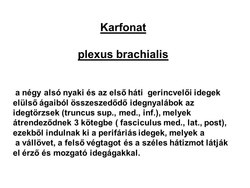 Karfonat plexus brachialis a négy alsó nyaki és az első háti gerincvelői idegek elülső ágaiból összeszedődő idegnyalábok az idegtörzsek (truncus sup.,