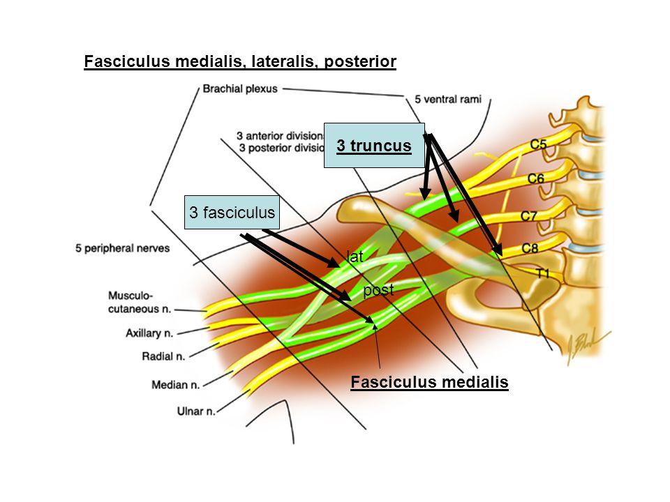 Fasciculus medialis, lateralis, posterior Fasciculus medialis post lat 3 truncus 3 fasciculus