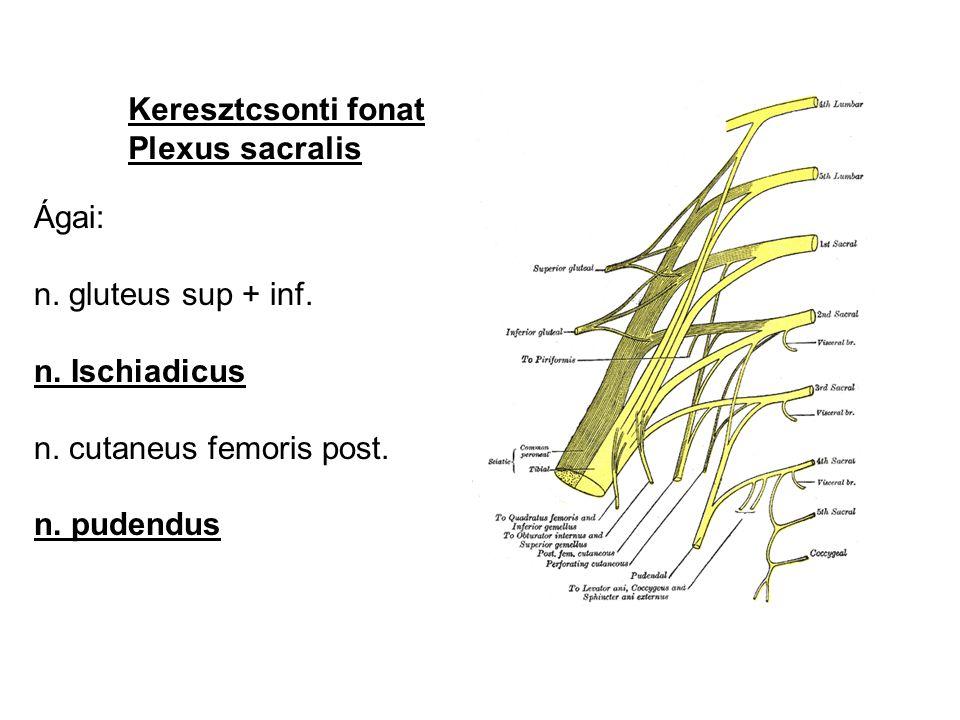 Keresztcsonti fonat Plexus sacralis Ágai: n. gluteus sup + inf. n. Ischiadicus n. cutaneus femoris post. n. pudendus