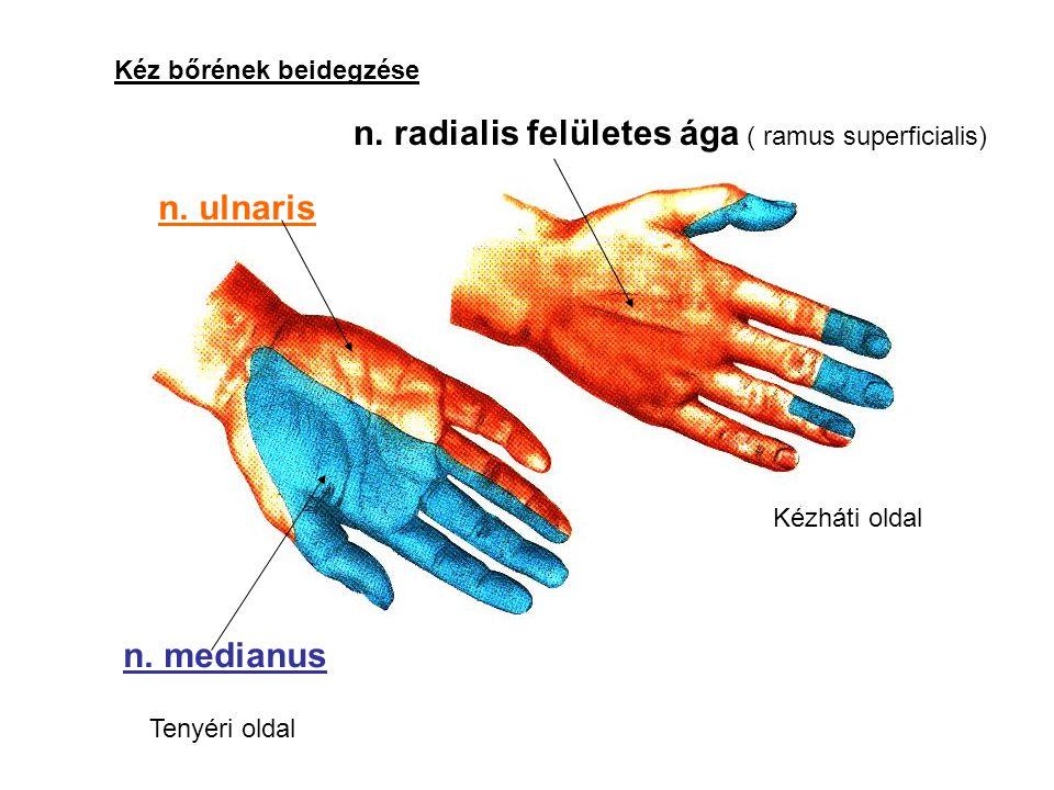 Kéz bőrének beidegzése n. medianus n. ulnaris Tenyéri oldal n. radialis felületes ága ( ramus superficialis) Kézháti oldal