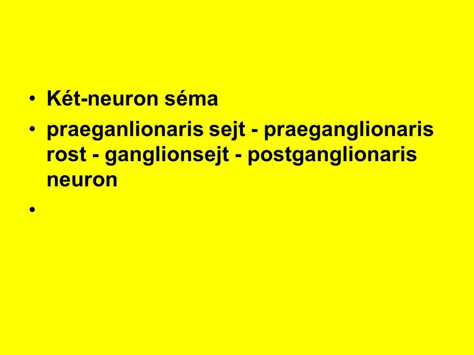 Két-neuron séma praeganlionaris sejt - praeganglionaris rost - ganglionsejt - postganglionaris neuron