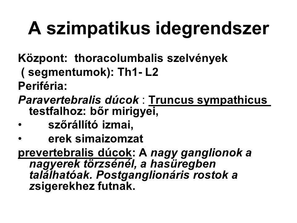 A szimpatikus idegrendszer Központ: thoracolumbalis szelvények ( segmentumok): Th1- L2 Periféria: Paravertebralis dúcok : Truncus sympathicus testfalh