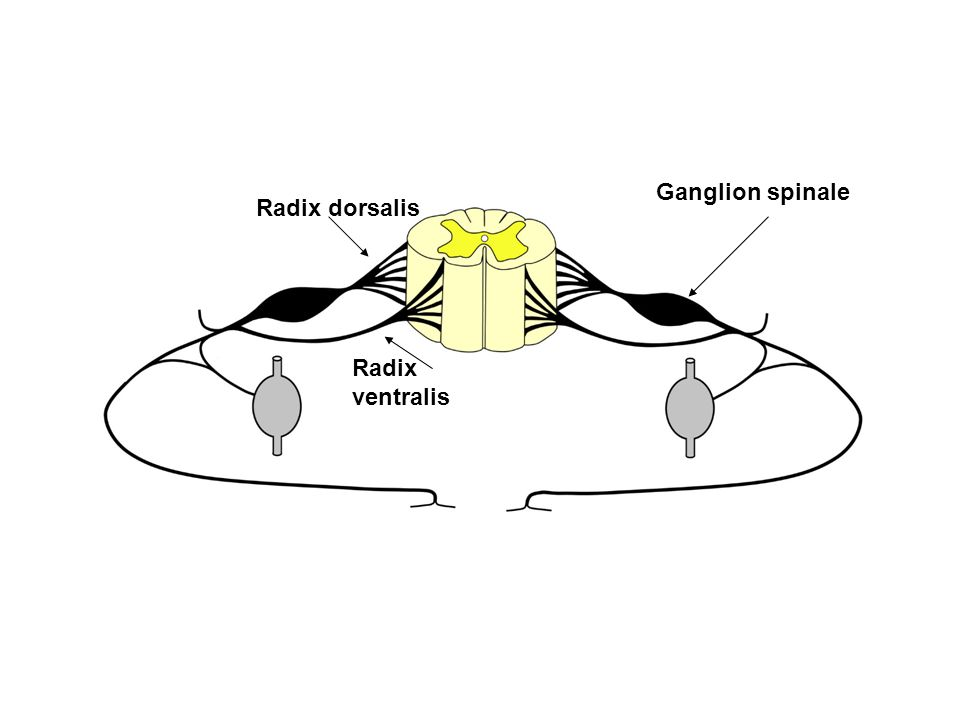 Radix dorsalis Radix ventralis Ganglion spinale