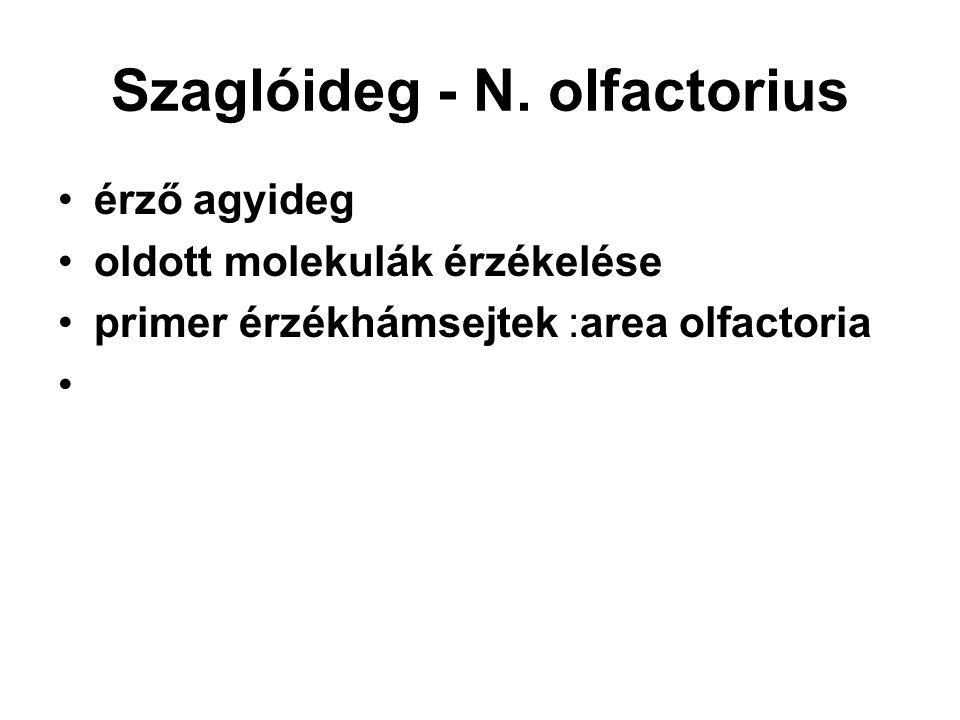 Szaglóideg - N. olfactorius érző agyideg oldott molekulák érzékelése primer érzékhámsejtek :area olfactoria