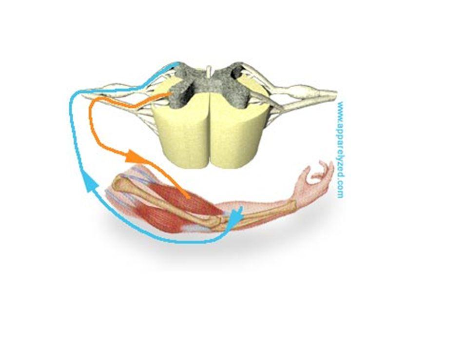vegetatív idegrendszer Szimpatikus idegrendszer a Canon-féle vészreakció, stressz zsigerek vérellátása csökken,vázizomzat vérellátása nő A háti és ágyéki gerincvelői szelvényekből indul : thoracolumbalis kirajzás Paraszimpatikus idegrendszer: cranialis és sacralis rész- raktározás, regeneráció - zsigerek vérellátása nő vázizomzat vérellátása csökken cranialis : Az agyidegekkel haladó vegetativ rostok az agytörzsből indulnak sacralis : a sacralis gerincvelői szelvényekből indulnak, gerincvelői idegekkel haladnak