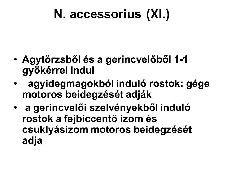 N. accessorius (XI.) Agytörzsből és a gerincvelőből 1-1 gyökérrel indul agyidegmagokból induló rostok: gége motoros beidegzését adják a gerincvelői sz