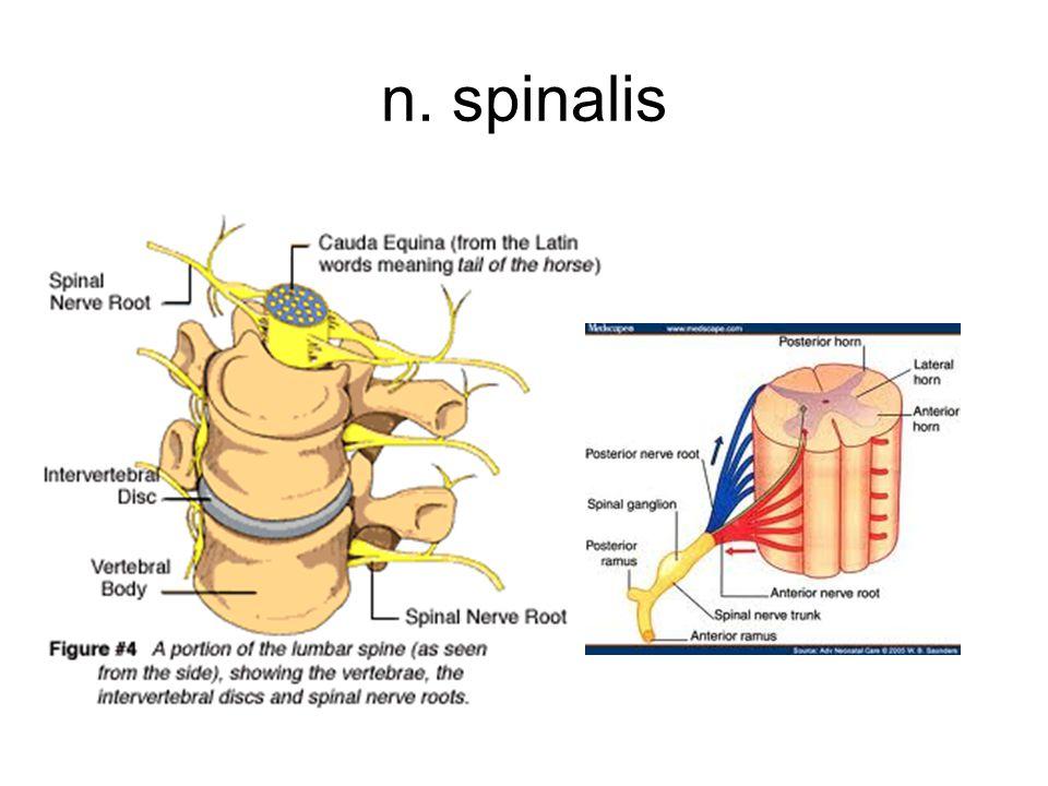 A szimpatikus idegrendszer Központ: thoracolumbalis szelvények ( segmentumok): Th1- L2 Periféria: Paravertebralis dúcok : Truncus sympathicus testfalhoz: bőr mirigyei, szőrállító izmai, erek simaizomzat prevertebralis dúcok: A nagy ganglionok a nagyerek törzsénél, a hasüregben találhatóak.