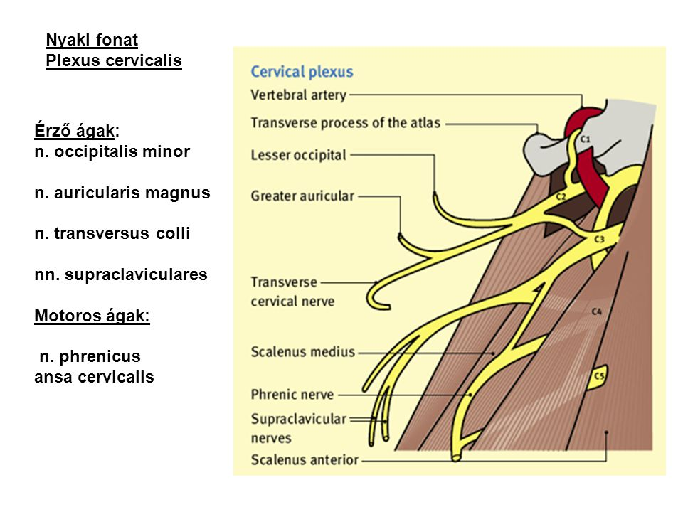 Érző ágak: n. occipitalis minor n. auricularis magnus n. transversus colli nn. supraclaviculares Motoros ágak: n. phrenicus ansa cervicalis Nyaki fona