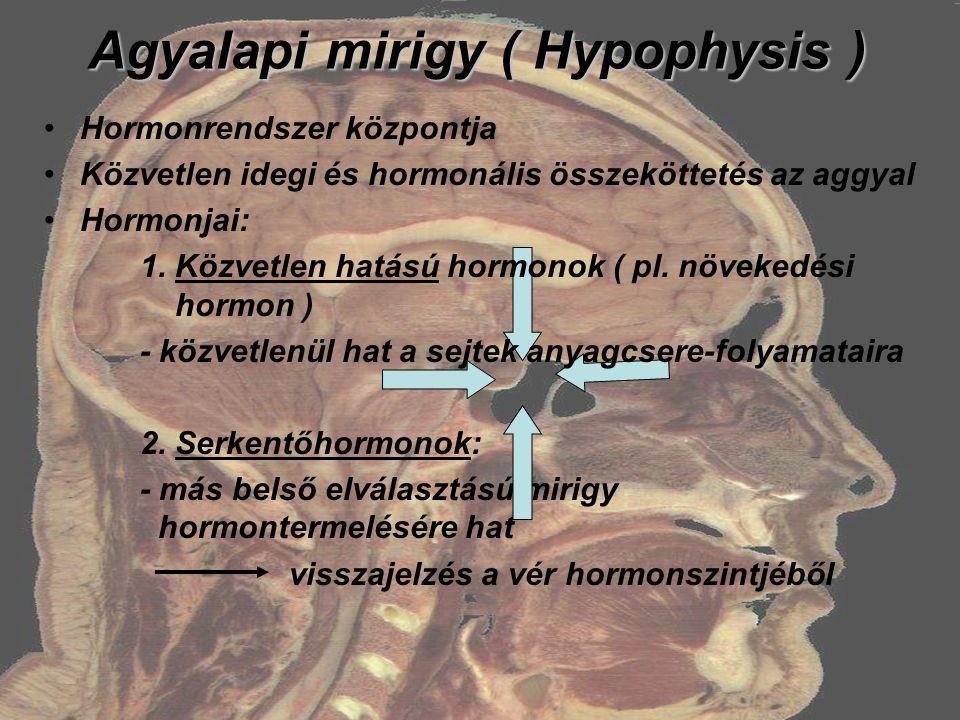 Agyalapi mirigy ( Hypophysis ) Hormonrendszer központja Közvetlen idegi és hormonális összeköttetés az aggyal Hormonjai: 1. Közvetlen hatású hormonok