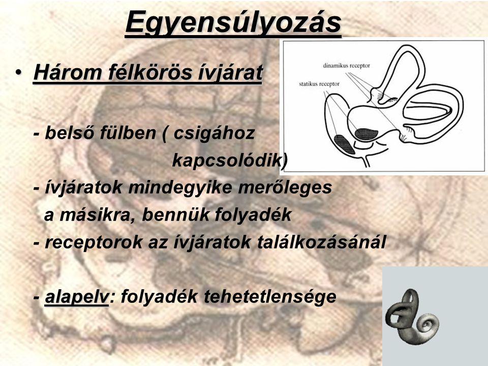 Egyensúlyozás Három félkörös ívjáratHárom félkörös ívjárat - belső fülben ( csigához kapcsolódik) - ívjáratok mindegyike merőleges a másikra, bennük f