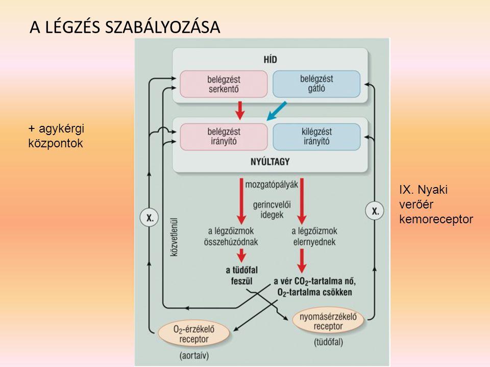 A LÉGZÉS SZABÁLYOZÁSA IX. Nyaki verőér kemoreceptor + agykérgi központok