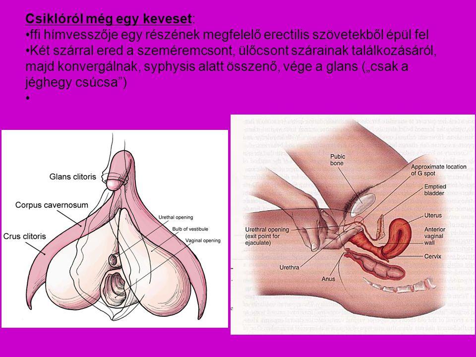 Csiklóról még egy keveset: ffi hímvesszője egy részének megfelelő erectilis szövetekből épül fel Két szárral ered a szeméremcsont, ülőcsont szárainak