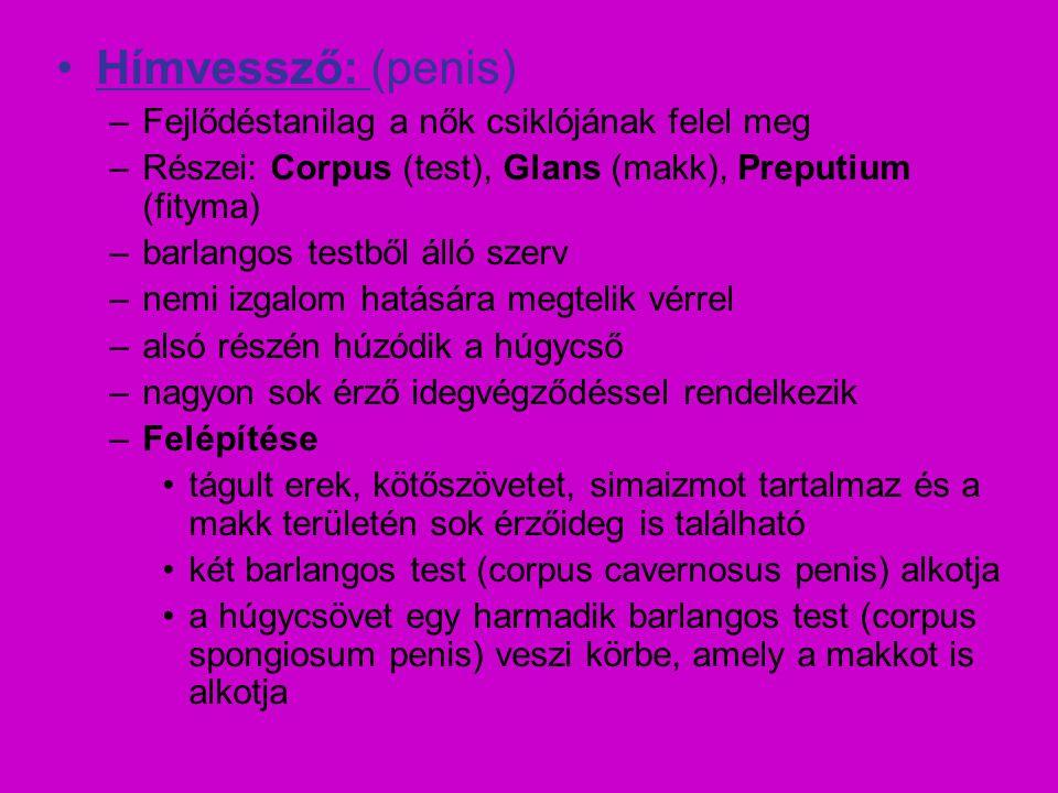 Hímvessző: (penis) –Fejlődéstanilag a nők csiklójának felel meg –Részei: Corpus (test), Glans (makk), Preputium (fityma) –barlangos testből álló szerv