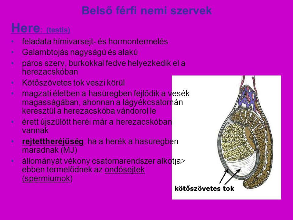 Belső férfi nemi szervek Here : (testis) feladata hímivarsejt- és hormontermelés Galambtojás nagyságú és alakú páros szerv, burkokkal fedve helyezkedi