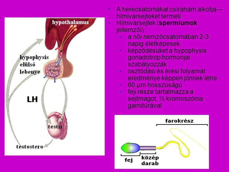 A herecsatornákat csírahám alkotja--- hímivarsejteket termeli Hímivarsejtek (spermiumok jellemzői): a női nemzőcsatornában 2-3 napig életképesek képző