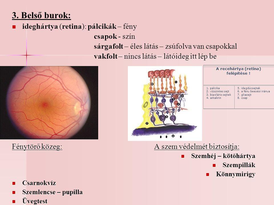 3. Belső burok: ideghártya (retina): pálcikák – fény csapok - szín sárgafolt – éles látás – zsúfolva van csapokkal vakfolt – nincs látás – látóideg it