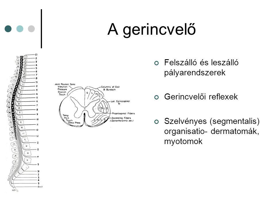 A gerincvelő Felszálló és leszálló pályarendszerek Gerincvelői reflexek Szelvényes (segmentalis) organisatio- dermatomák, myotomok