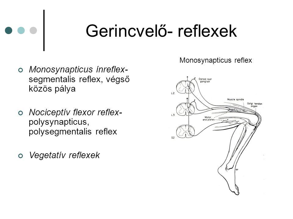 Nociceptív flexor reflex Fájdalmas bőringer az érintett végtag flexióját és az ellenoldali végtag extenzióját hozza létre Corticospinalis laesioban a reflex felszabadul a gátlás alól