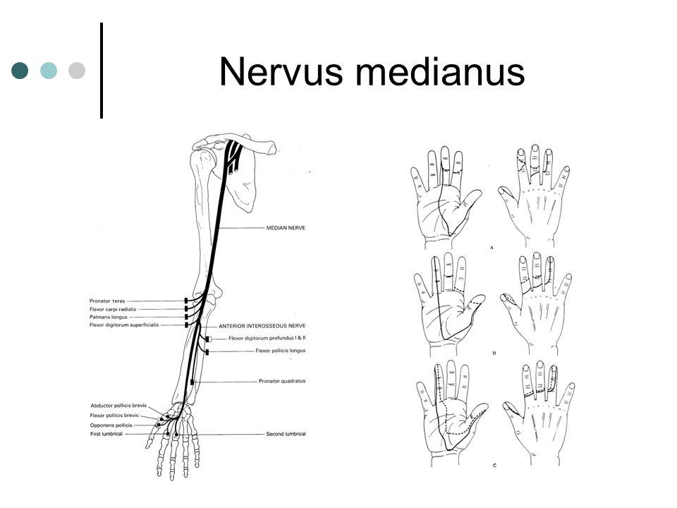 Nervus medianus