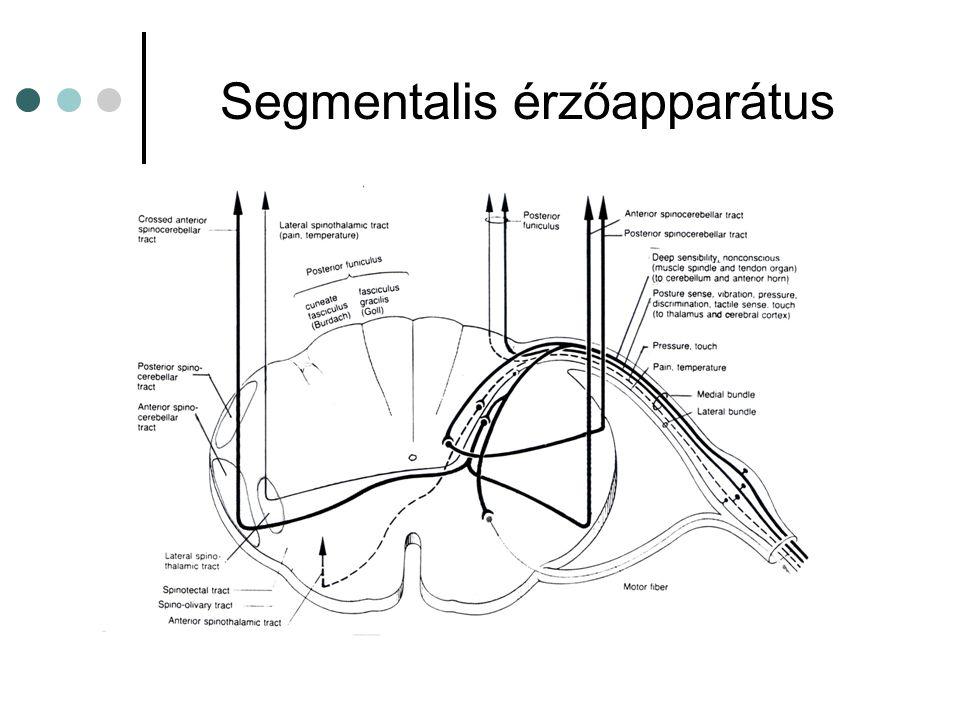 Somatotopia a gerincvelőben