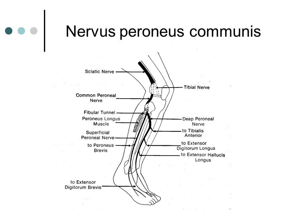 Nervus peroneus communis