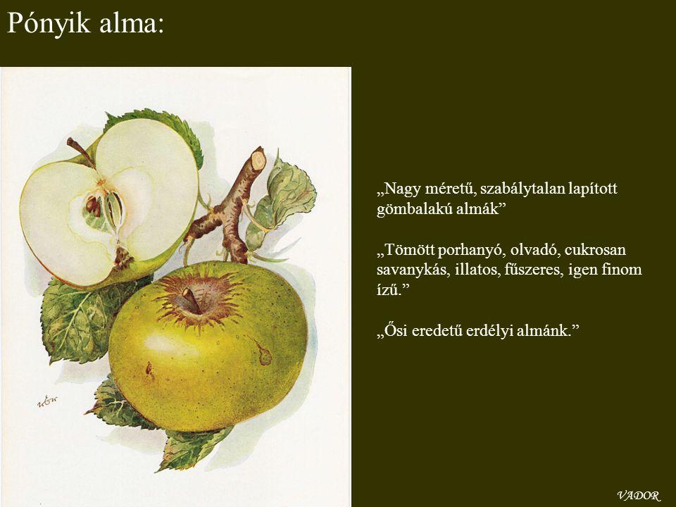 """VADOR Pónyik alma: """"Nagy méretű, szabálytalan lapított gömbalakú almák"""" """"Tömött porhanyó, olvadó, cukrosan savanykás, illatos, fűszeres, igen finom íz"""