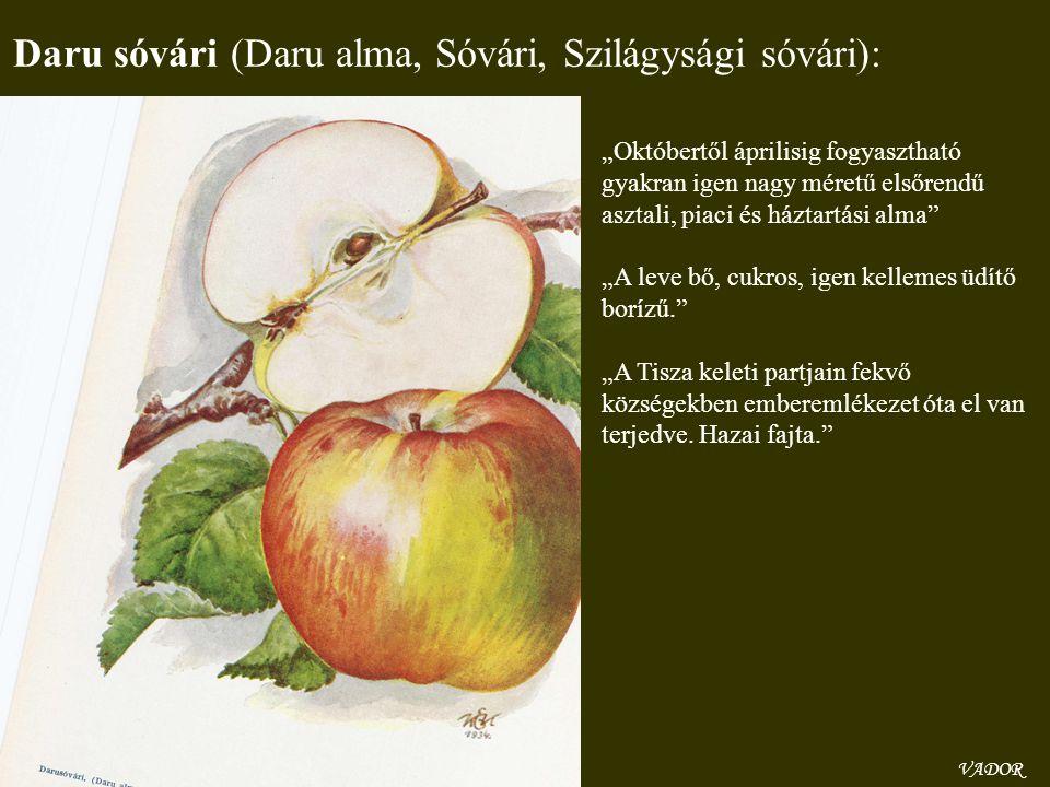 """VADOR Daru sóvári (Daru alma, Sóvári, Szilágysági sóvári): """"Októbertől áprilisig fogyasztható gyakran igen nagy méretű elsőrendű asztali, piaci és ház"""