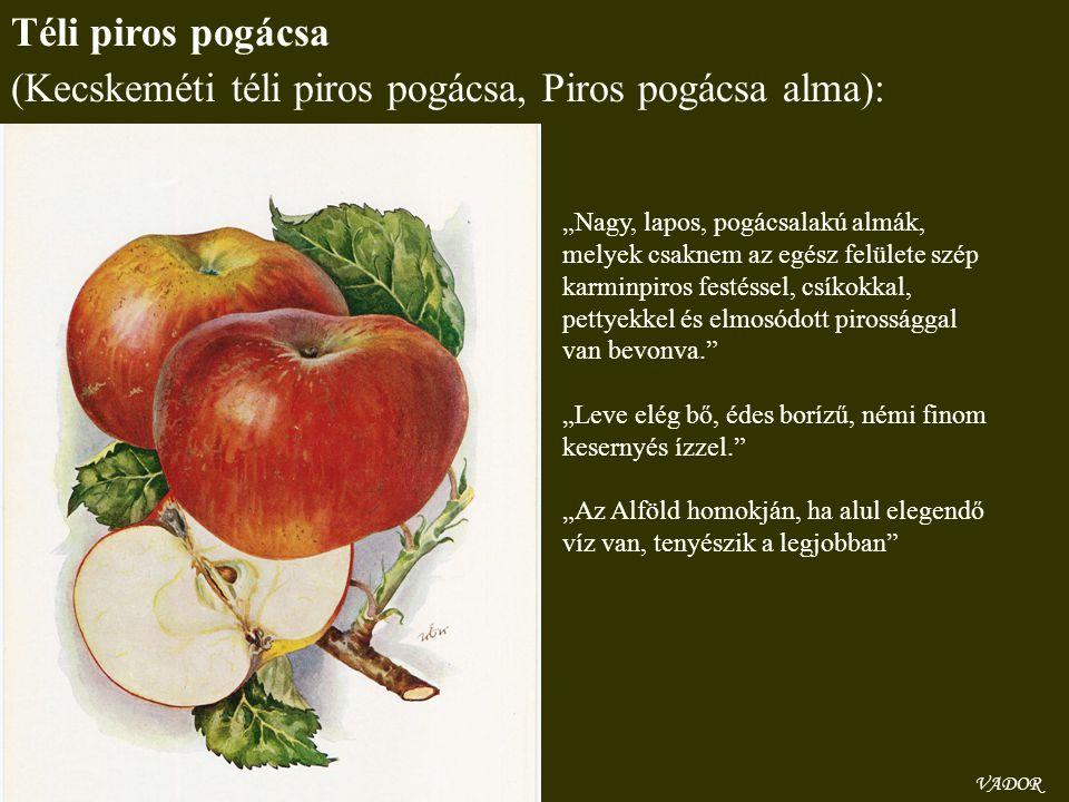 """VADOR Téli piros pogácsa (Kecskeméti téli piros pogácsa, Piros pogácsa alma): """"Nagy, lapos, pogácsalakú almák, melyek csaknem az egész felülete szép k"""