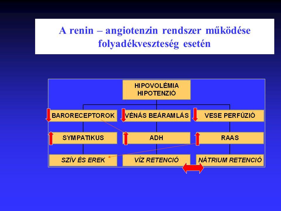 A renin – angiotenzin rendszer működése folyadékveszteség esetén