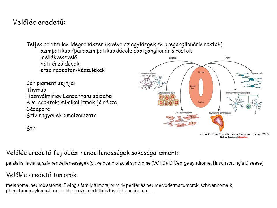 Velőléc eredetű: Teljes perifériás idegrendszer (kivéve az agyidegek és preganglionáris rostok) szimpatikus /paraszimpatikus dúcok; postganglionáris rostok mellékvesevelő háti érző dúcok érző receptor-készülékek Bőr pigment sejtjei Thymus Hasnyálmirigy Langerhans szigetei Arc-csontok; mimikai izmok jó része Gégeporc Szív nagyerek simaizomzata Stb Velőléc eredetű fejlődési rendellenességek sokasága ismert: palatalis, facialis, szív rendellenességek (pl.