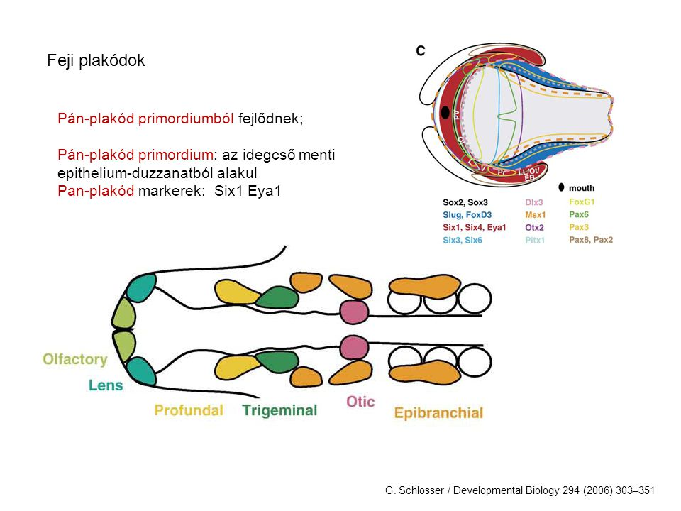 Feji plakódok Pán-plakód primordiumból fejlődnek; Pán-plakód primordium: az idegcső menti epithelium-duzzanatból alakul Pan-plakód markerek: Six1 Eya1 G.