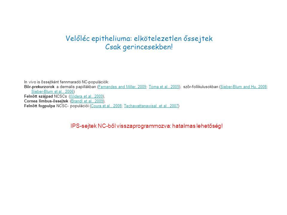 Velőléc epitheliuma: elkötelezetlen őssejtek Csak gerincesekben.