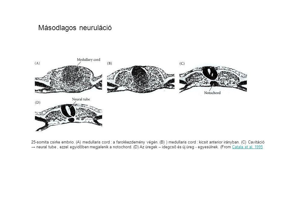 25-somita csirke embrio.(A) medullaris cord : a farokkezdemény végén.