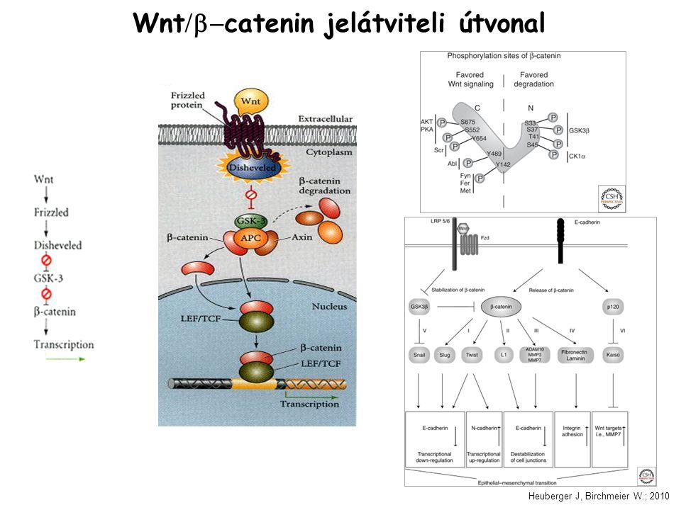 Wnt  catenin jelátviteli útvonal Heuberger J, Birchmeier W.; 2010