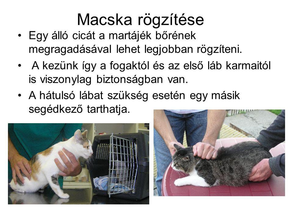 Macska rögzítése Egy álló cicát a martájék bőrének megragadásával lehet legjobban rögzíteni. A kezünk így a fogaktól és az első láb karmaitól is viszo