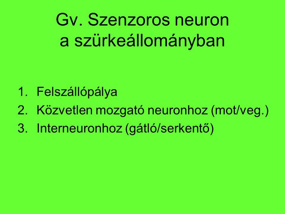 Gv. Szenzoros neuron a szürkeállományban 1.Felszállópálya 2.Közvetlen mozgató neuronhoz (mot/veg.) 3.Interneuronhoz (gátló/serkentő)