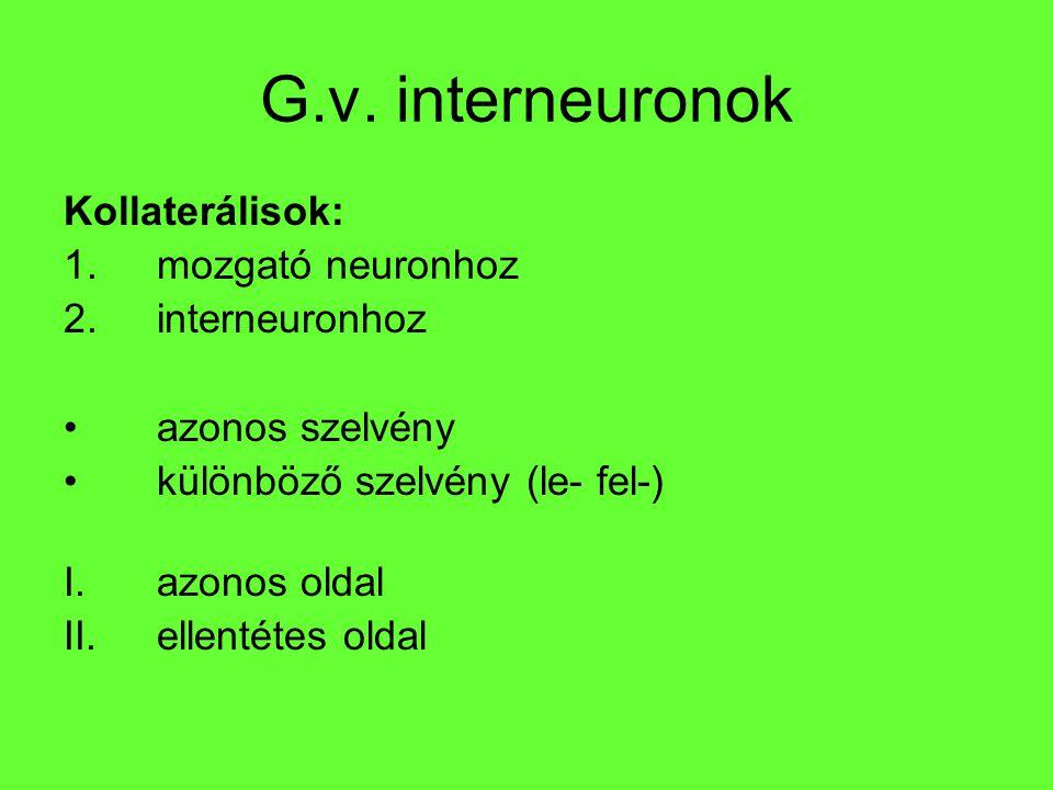 G.v. interneuronok Kollaterálisok: 1.mozgató neuronhoz 2.interneuronhoz azonos szelvény különböző szelvény (le- fel-) I.azonos oldal II.ellentétes old