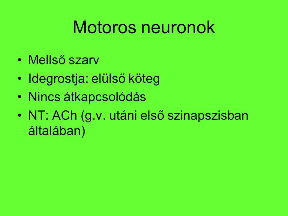 Motoros neuronok Mellső szarv Idegrostja: elülső köteg Nincs átkapcsolódás NT: ACh (g.v. utáni első szinapszisban általában)