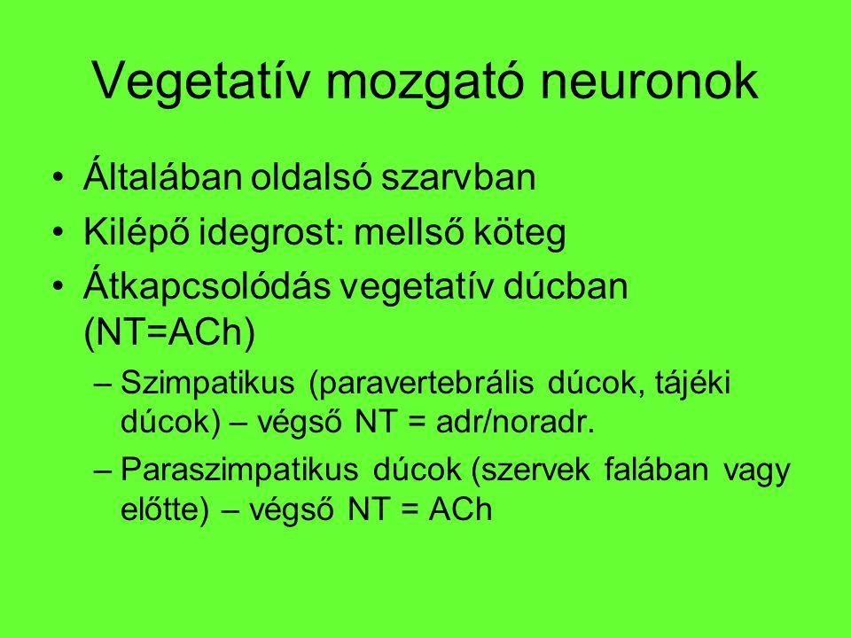 Vegetatív mozgató neuronok Általában oldalsó szarvban Kilépő idegrost: mellső köteg Átkapcsolódás vegetatív dúcban (NT=ACh) –Szimpatikus (paravertebrá