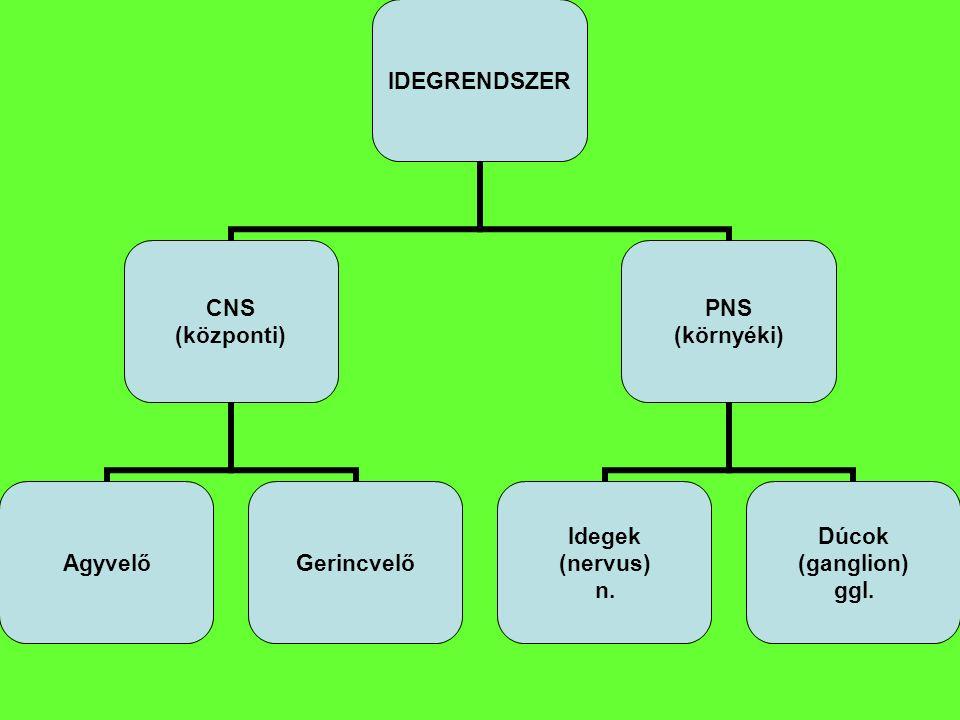 IDEGRENDSZER CNS (központi) AgyvelőGerincvelő PNS (környéki) Idegek (nervus) n. Dúcok (ganglion) ggl.