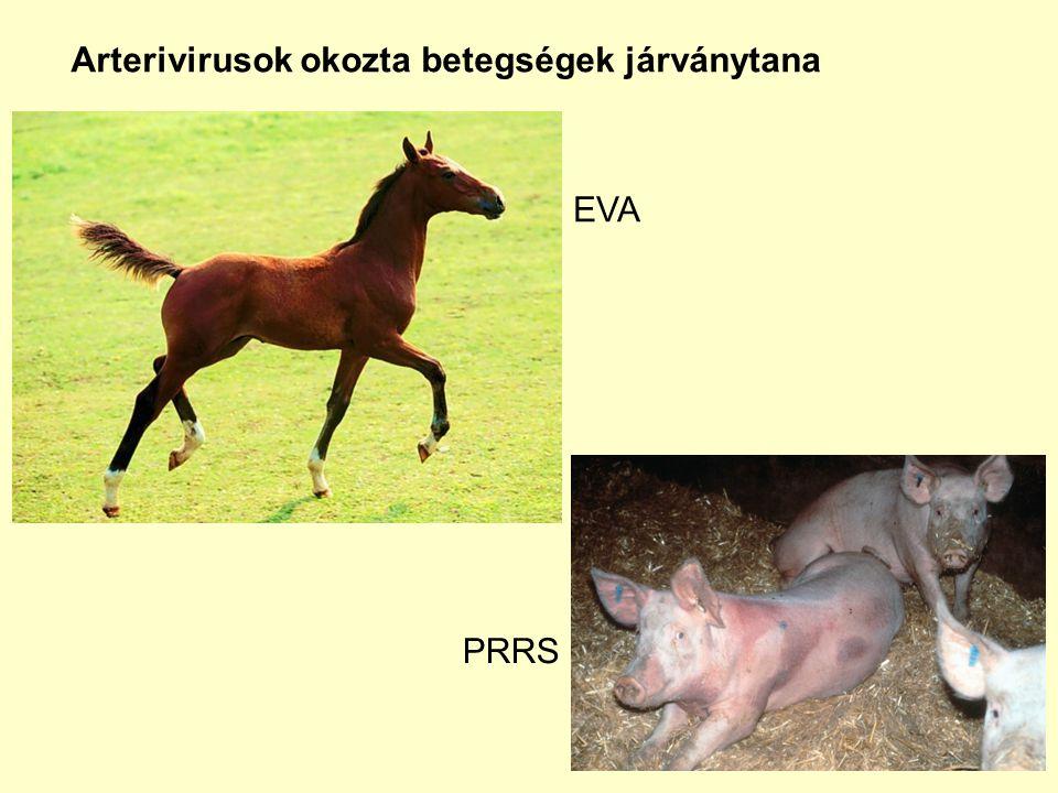 Fertőző lóarteritisz: Equine viral arteritis (EVA) Történet:XIX.