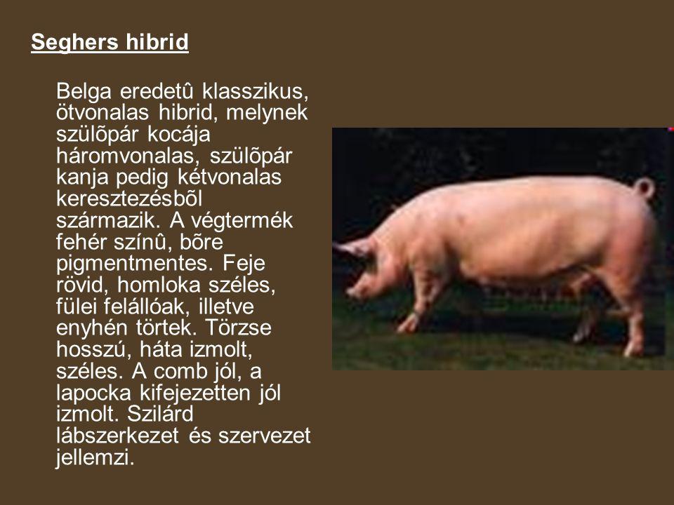 Seghers hibrid Belga eredetû klasszikus, ötvonalas hibrid, melynek szülõpár kocája háromvonalas, szülõpár kanja pedig kétvonalas keresztezésbõl származik.