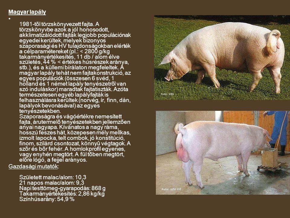 Magyar lapály 1981-tõl törzskönyvezett fajta. A törzskönyvbe azok a jól honosodott, akklimatizálódott fajták legjobb populációnak egyedei kerültek, me