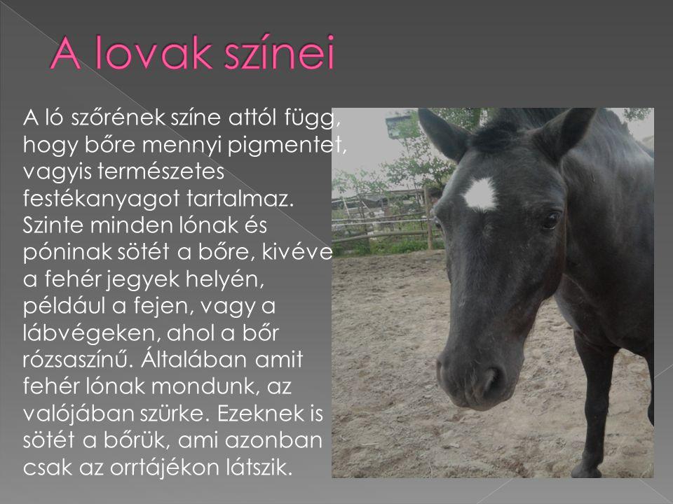 A ló szőrének színe attól függ, hogy bőre mennyi pigmentet, vagyis természetes festékanyagot tartalmaz. Szinte minden lónak és póninak sötét a bőre, k