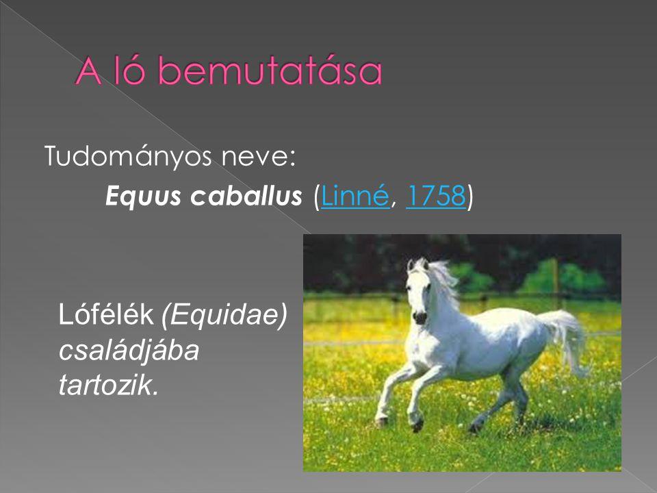 Tudományos neve: Equus caballus (Linné, 1758)Linné1758 Lófélék (Equidae) családjába tartozik.