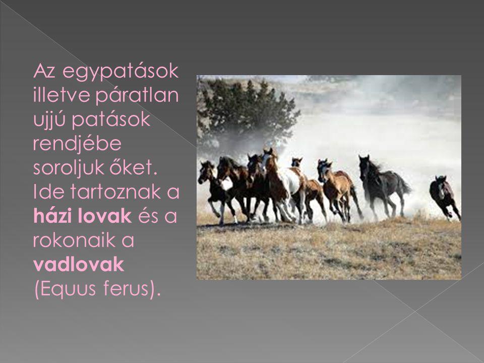 Az egypatások illetve páratlan ujjú patások rendjébe soroljuk őket. Ide tartoznak a házi lovak és a rokonaik a vadlovak (Equus ferus).