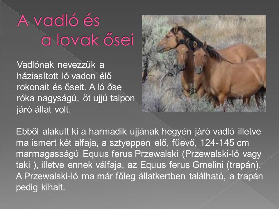 Vadlónak nevezzük a háziasított ló vadon élő rokonait és őseit. A ló őse róka nagyságú, öt ujjú talpon járó állat volt. Ebből alakult ki a harmadik uj