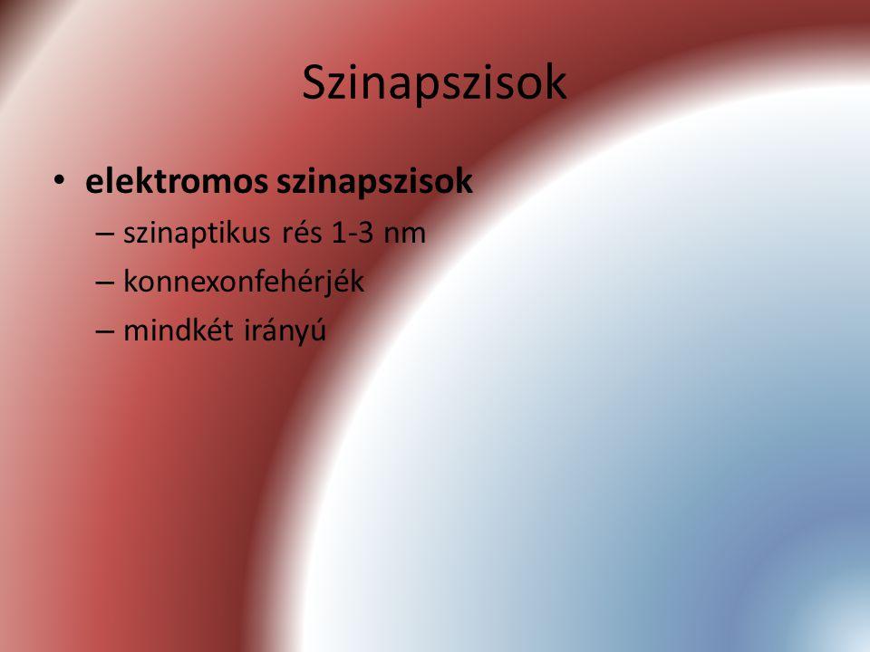 Szinapszisok elektromos szinapszisok – szinaptikus rés 1-3 nm – konnexonfehérjék – mindkét irányú
