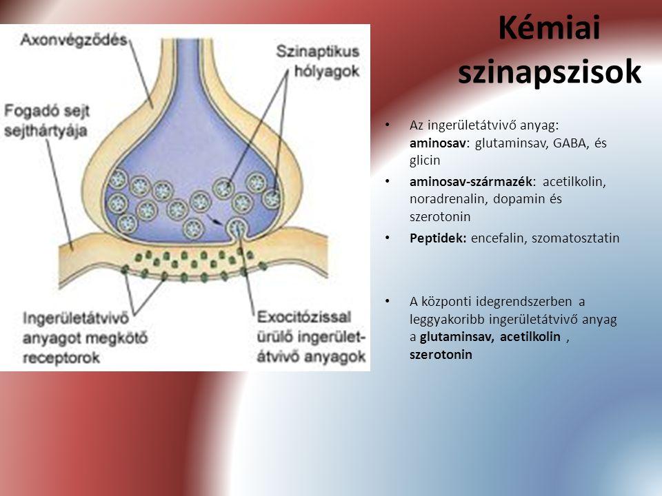 Kémiai szinapszisok Az ingerületátvivő anyag: aminosav: glutaminsav, GABA, és glicin aminosav-származék: acetilkolin, noradrenalin, dopamin és szeroto